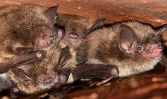 Exterminating Bat Removal Upper Michigan Wisconsin U P